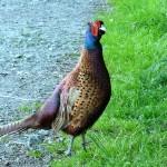 [Sat. 19:08:01] Thirsty pheasant