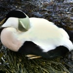 Injured eider duck found on Ardentinny beach