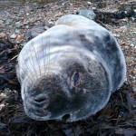 Stranded seal pup on Ardentinny beach