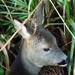 Roe deer injured on Ardentinny road